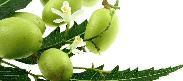 ayurveda-neem