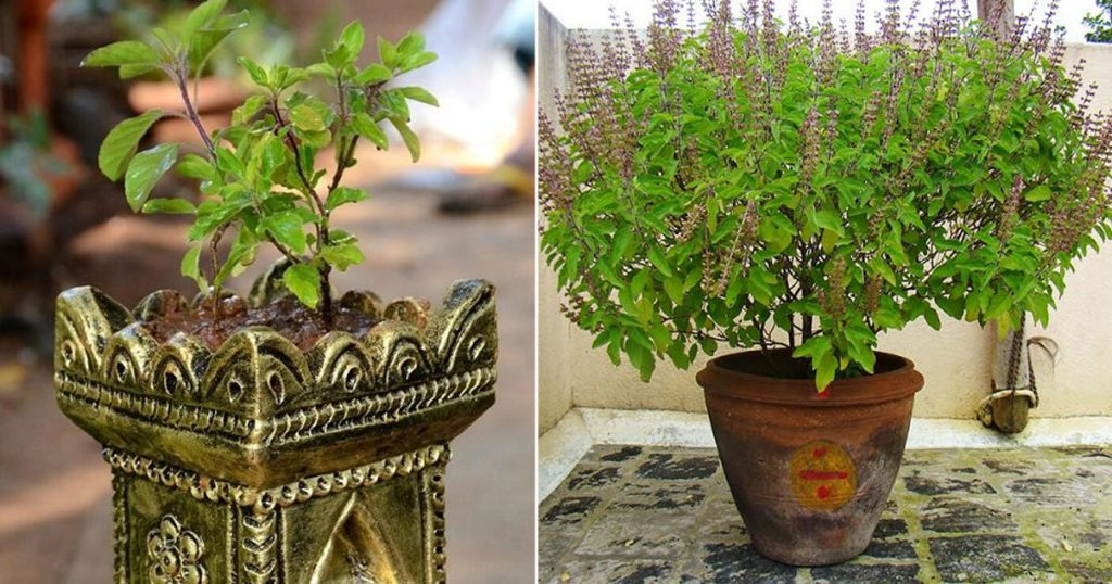 Health Benefits of Tulsi - The Divine Plant in Ayurveda