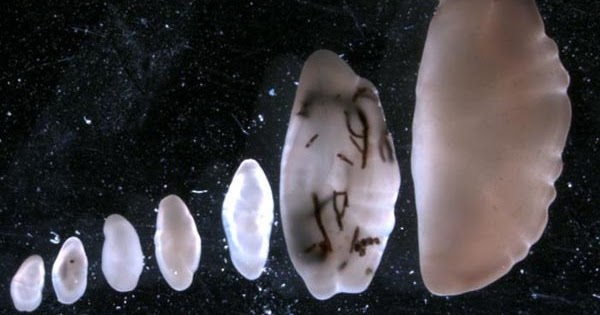 Matsya Mani: Fish Pearl